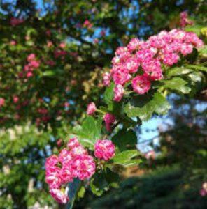 Floraison de l\u0027Aubépine