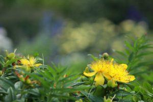 Hypericum Perforatum, Fleur Jaune, Hypericaceae