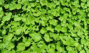 Plantes, Herbe, Médicinales, Hydrocotyle Indien