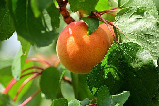 Abricot, Fruit, Appétissant, Jardin